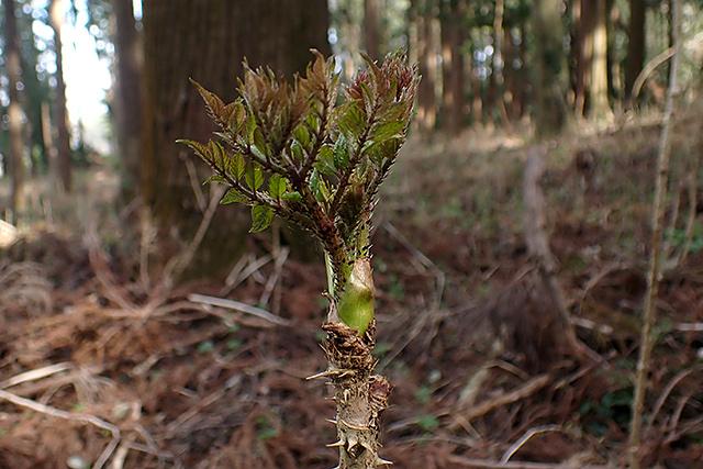 タラ の 木 増やし 方